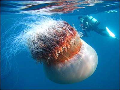 Medusa de 20 kilos Medusa-gigante-japon